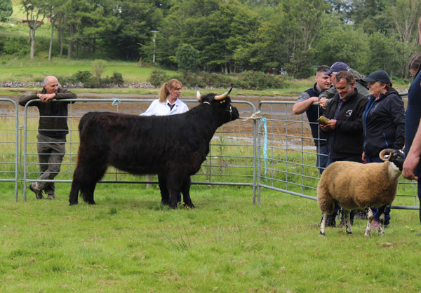 Cattle Champion